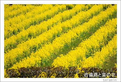 吉備路と菜の花 写真3