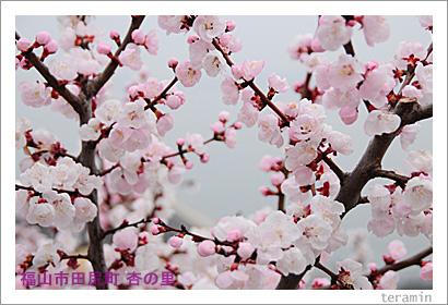 田尻の杏 写真3