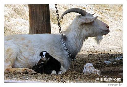 渋川動物公園 山羊の出産1