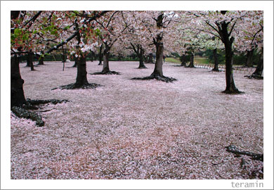 後楽園・桜2