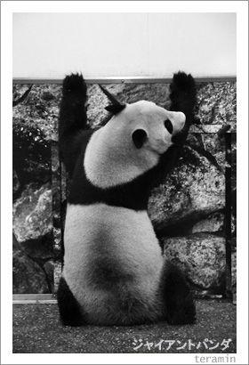 ジャイアントパンダ 写真4