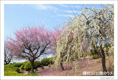 種松山公園のウメ1