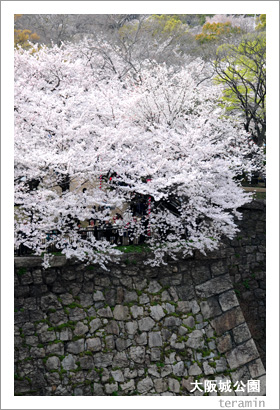 大阪城公園の桜4
