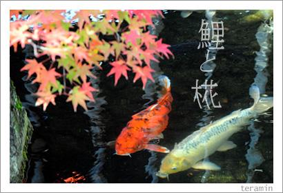 鯉とモミジ(好古園にて) 写真1