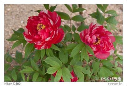 rose160221_3
