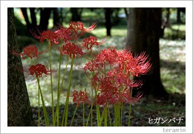 ヒガンバナ(彼岸花)1