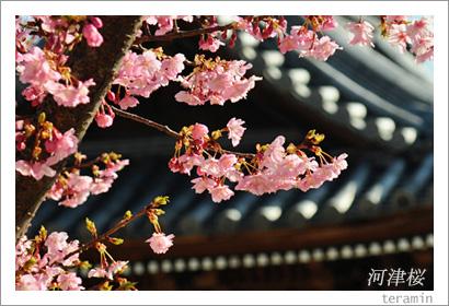 妙林寺の河津桜 写真1