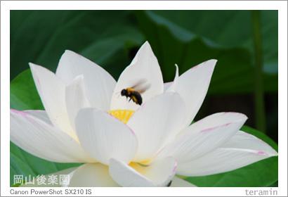 岡山後楽園のハス 写真4