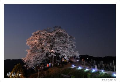 醍醐桜 写真2009_6