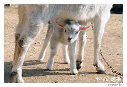 ヤギの親子3 渋川動物公園