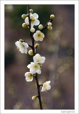 種松山の梅3
