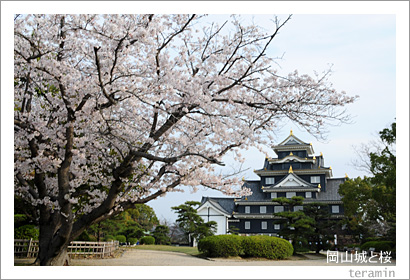 岡山城と桜1