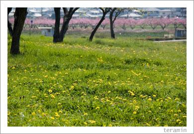 吉備路の桃花とタンポポ