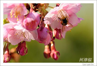 妙林寺の河津桜 写真3