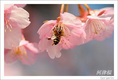 妙林寺の河津桜 写真4