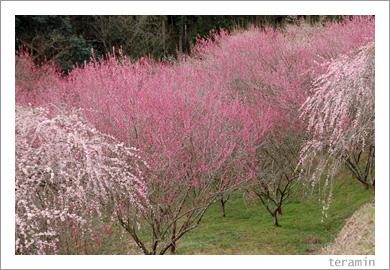 梅の里公園・梅まつり2