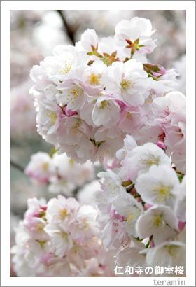 仁和寺の御室桜1