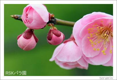 バラ園 梅の写真3