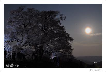 醍醐桜 写真2009_2