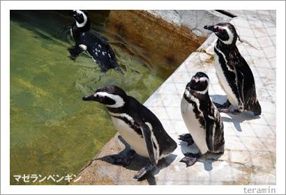 マゼランペンギン1