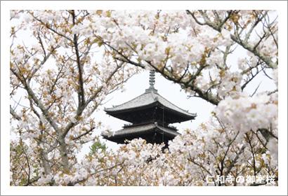 仁和寺の御室桜3