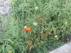 菜園トマトヒキ300pic