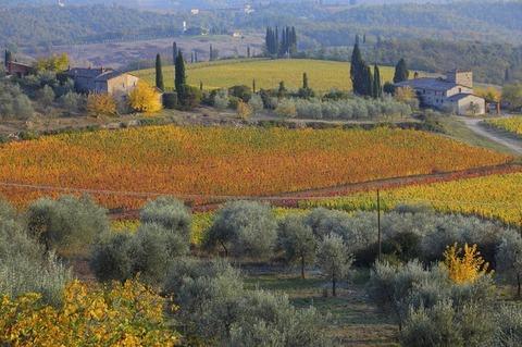 秋イタリア赤い葡萄園と緑のオリーブ畑800