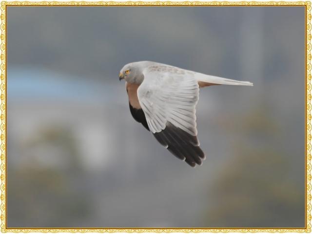 ハイイロチュウヒDSC_0154