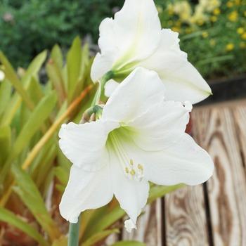 アマリリス、白花