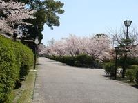 吉川史料館付近の桜
