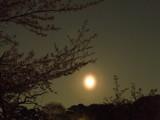 大阪城の桜「満月」