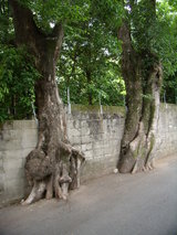 ブロック塀に食い込んだ逞しい樹木