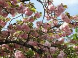 造幣局の桜(2)