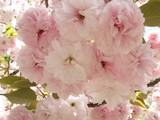 造幣局の桜(5)