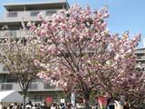 造幣局の桜(1)