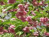 造幣局の桜(3)