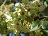 造幣局の桜(4)
