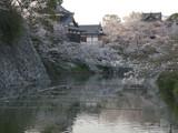 池からの桜
