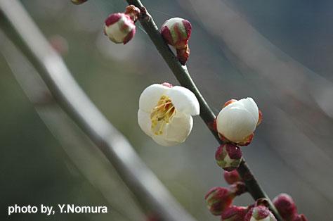 futuuno_ume3