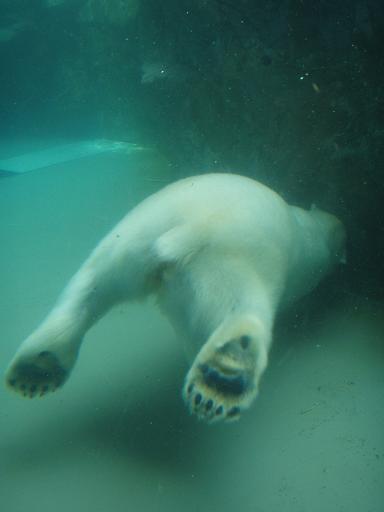 ホッキョクグマ潜水中1