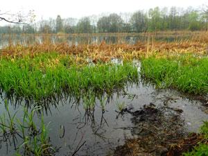 湿地帯でのイネ科