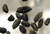 7000年前の籾米