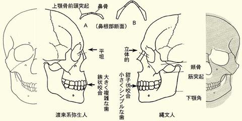 渡来系弥生人と縄文人の人骨比較