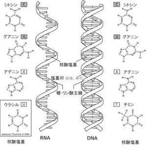 RNAとDNA