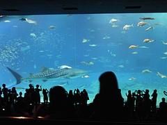 ちゅら海水族館 ジンベイザメ