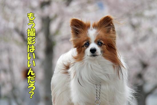 今年の桜は綺麗です★☆★  03