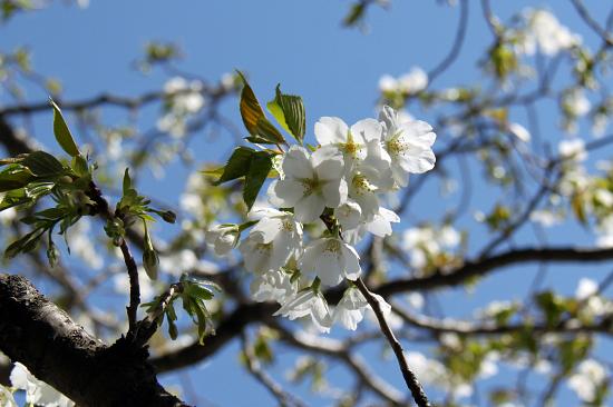 葉桜 15