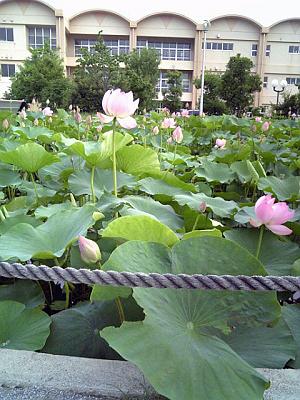 大賀ハスの池