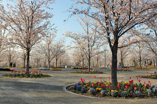 桜の下でじゃんがりあん★☆★�