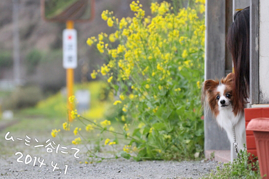 今年の桜は綺麗です★☆★  14